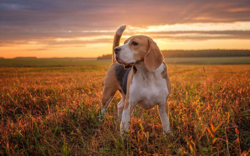 Wallpaper Confident Beagle Dog Outdoor Perros