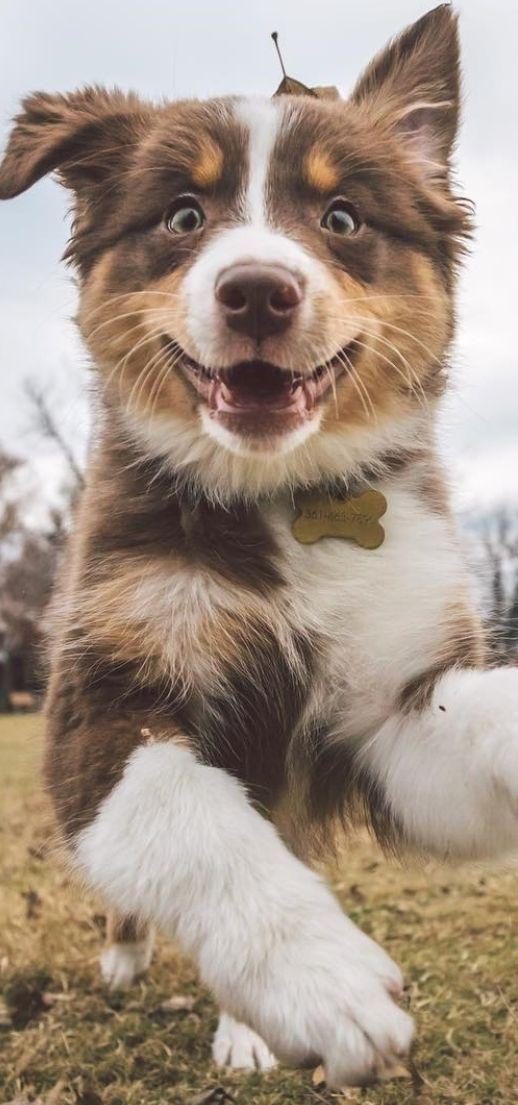 australian Aussie welpen, Australische schäferhunde