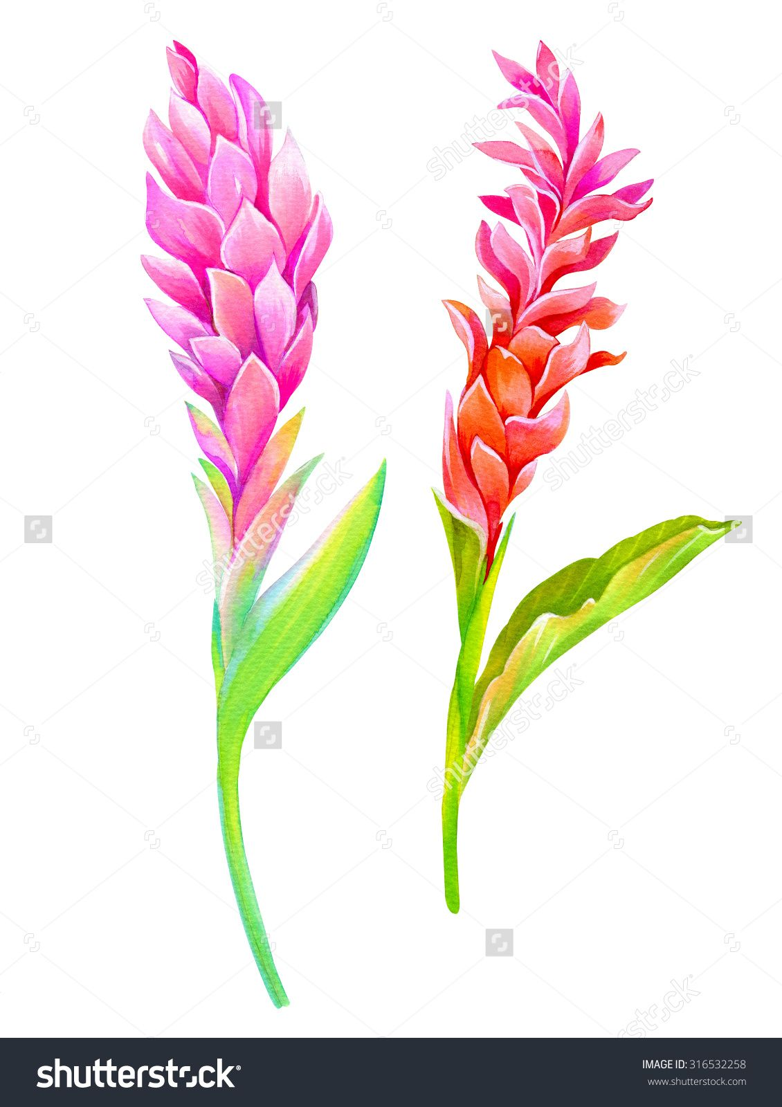 Stock Photo Two Isolated Red Ginger Flowers Beautiful Botanical Illustrations Amazing Details And Colors 3 Ginger Flower Tropical Flower Tattoos Flower Drawing