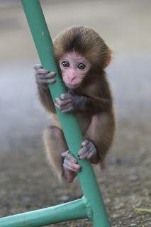 Adorable Baby Monkey Wallpapers