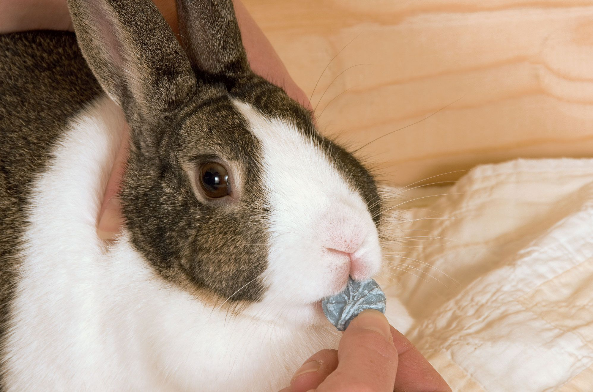 Rabbit-Eating-Candy