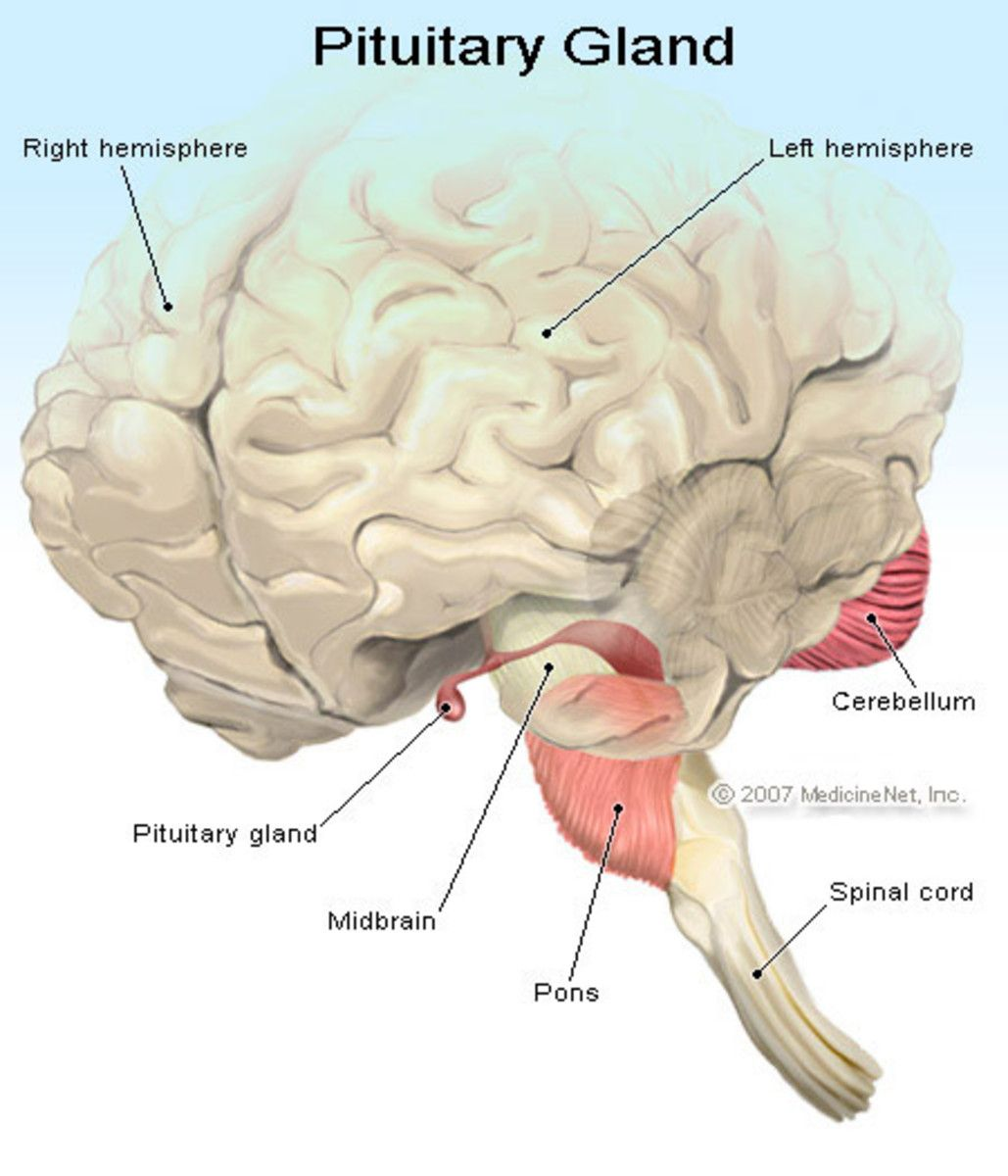 29+ Hormones Of The Anterior Pituitary And Its Disorders A Case Study Of The Glycoprotein Hormones
