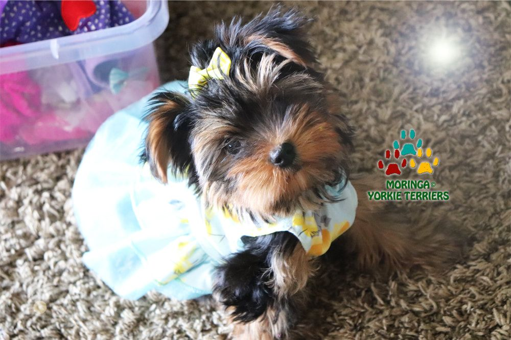 Available Micro Teacup Yorkies* Toy Yorkie Puppies* Yorkie