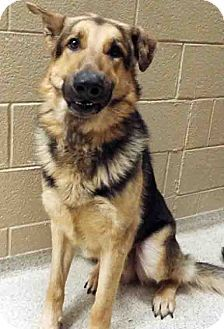 German Shepherd Dog Mix Dog For Adoption In Plainfield Illinois