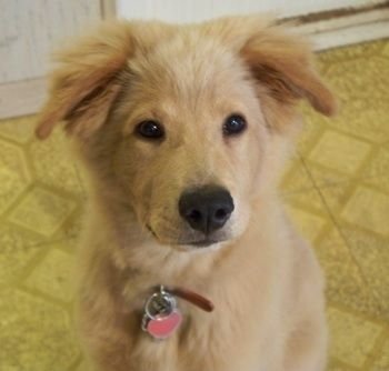 Golden Retriever X Chow Chow Golden Retriever Chow Mix Golden