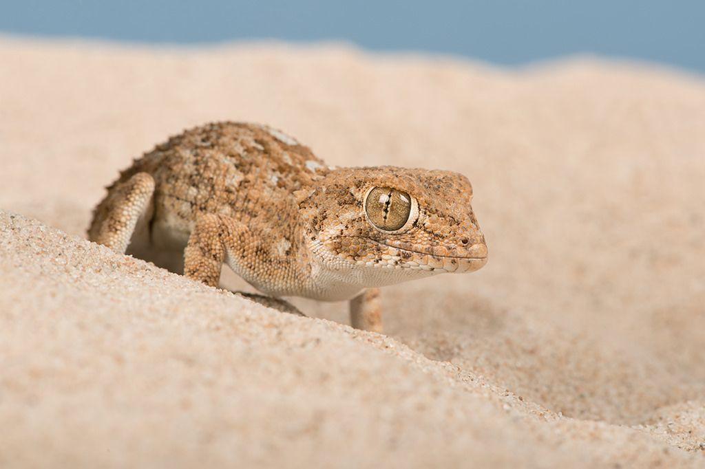 Helmeted Gecko (Tarentola chazaliae)   Gecko, Reptiles and amphibians,  Animals of the world