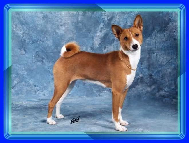 Basenji Jack Russell Terrier Mix Google Search Ideas