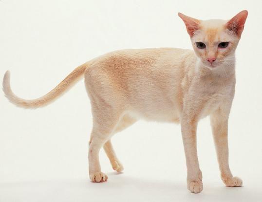 Honey Mink Tonk Cat Breeds Tonkinese Cat Cats