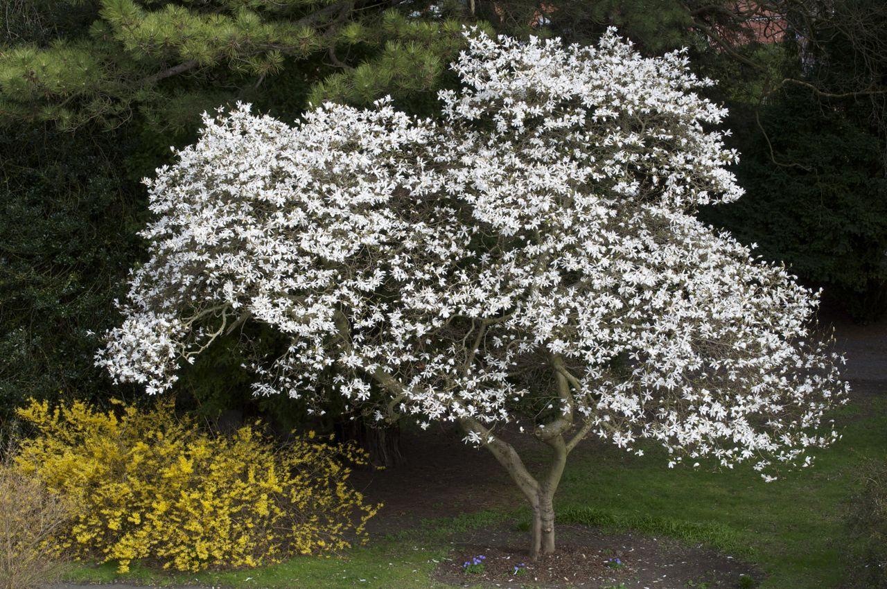 Magnolia kobus Flowering trees, Garden trees, Plants