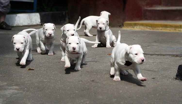 Dogo Argentino Dog Argentino Dog Friends Puppies And Kitties