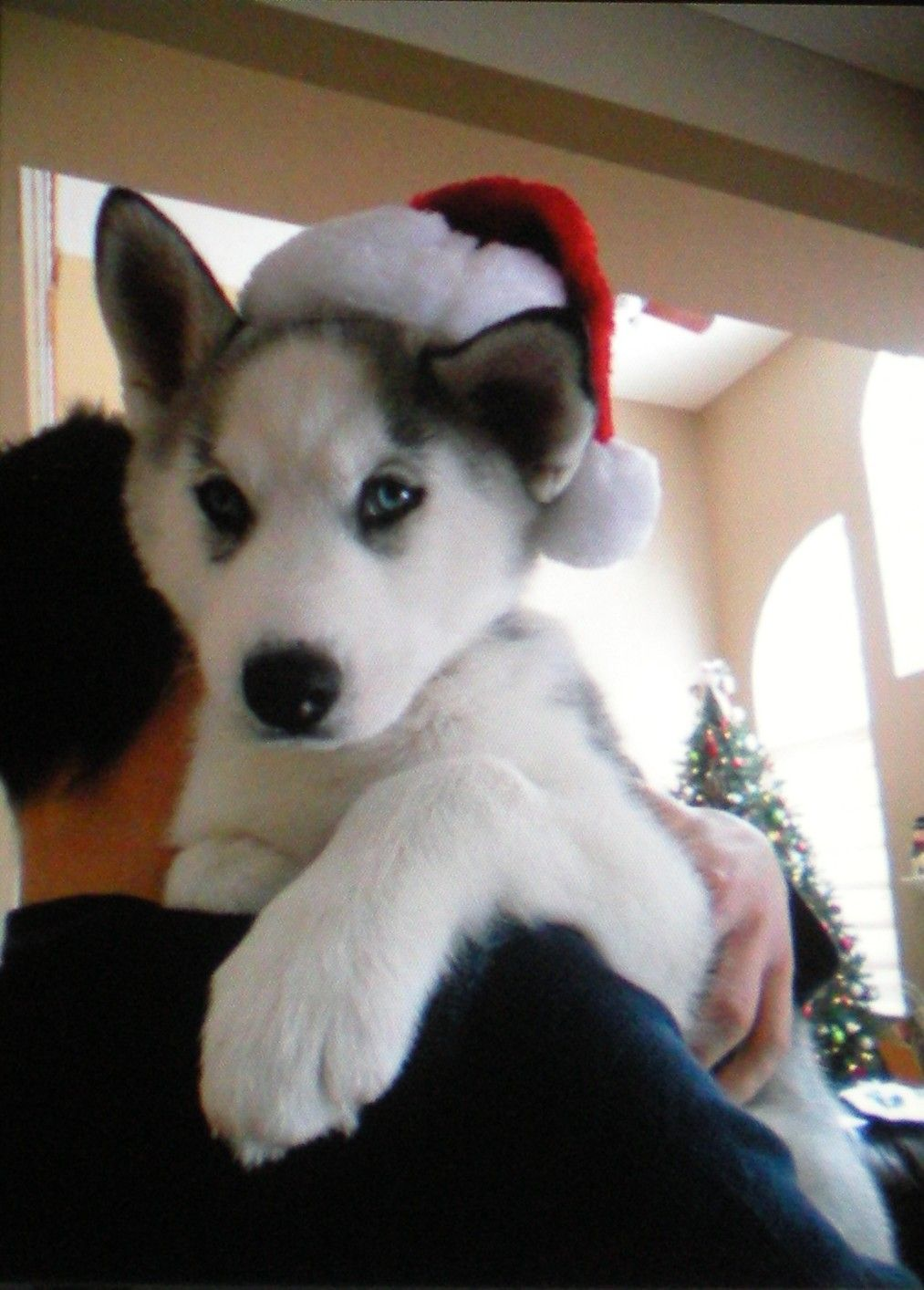 Husky Christmas Puppy.The Best Free Kindle Books Dogs And Puppies Dogs