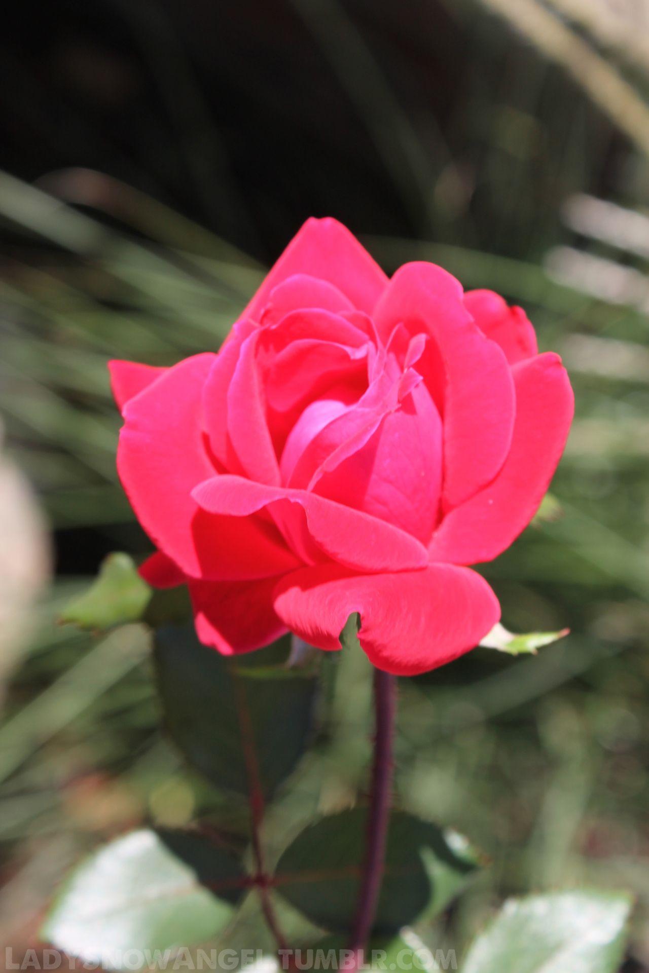 An Autumn Rose Photography