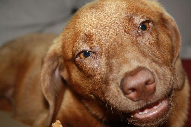 Elmore 11 weeks Herrroooo Chesapeake bay retriever puppy