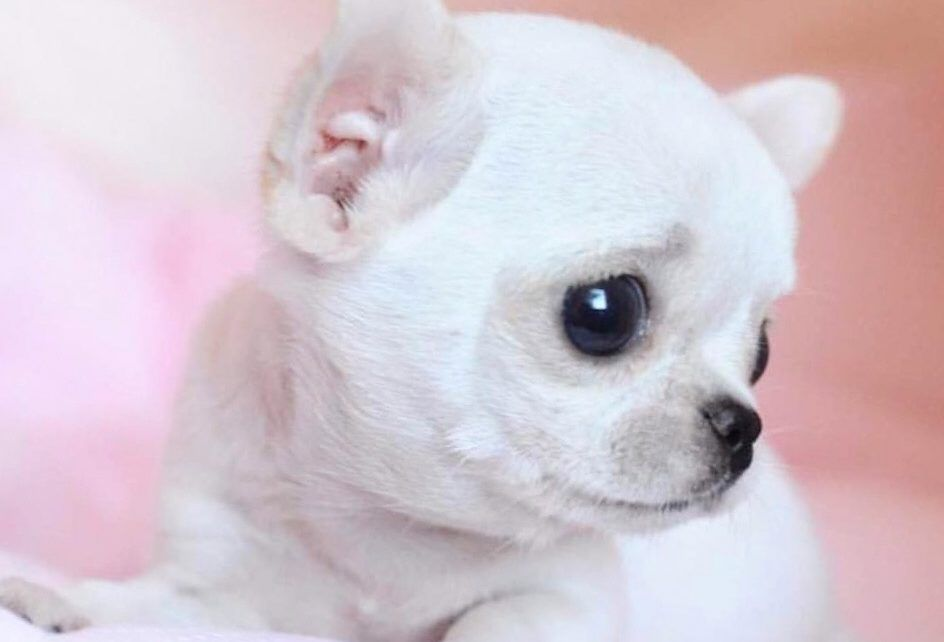 Teacup Chihuahua Facts And Information Perros Esponjosos Perros