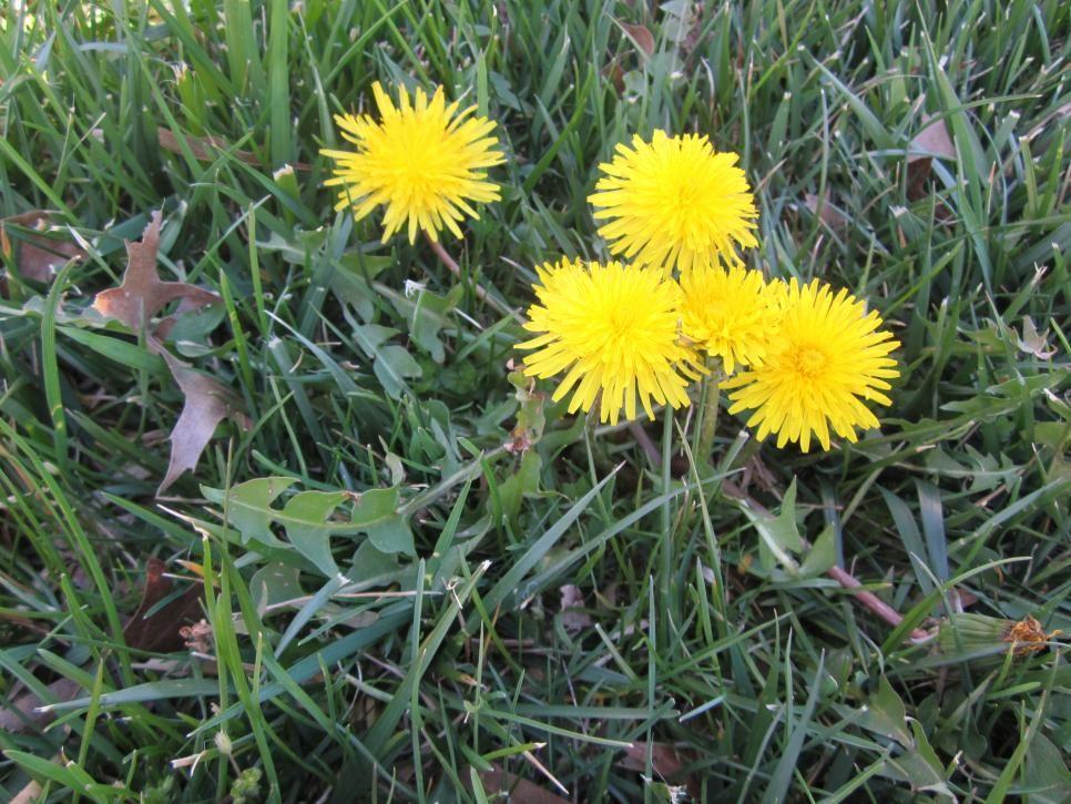 Best way to get rid of dandelions permanently hgtv in
