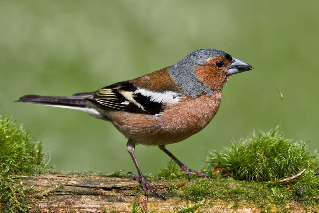 Amsel Buchfink Heimische Vogel Vogel Im Garten