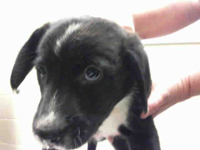 Patrick Border Collie Mix 8 Weeks Old Western Pa Humane