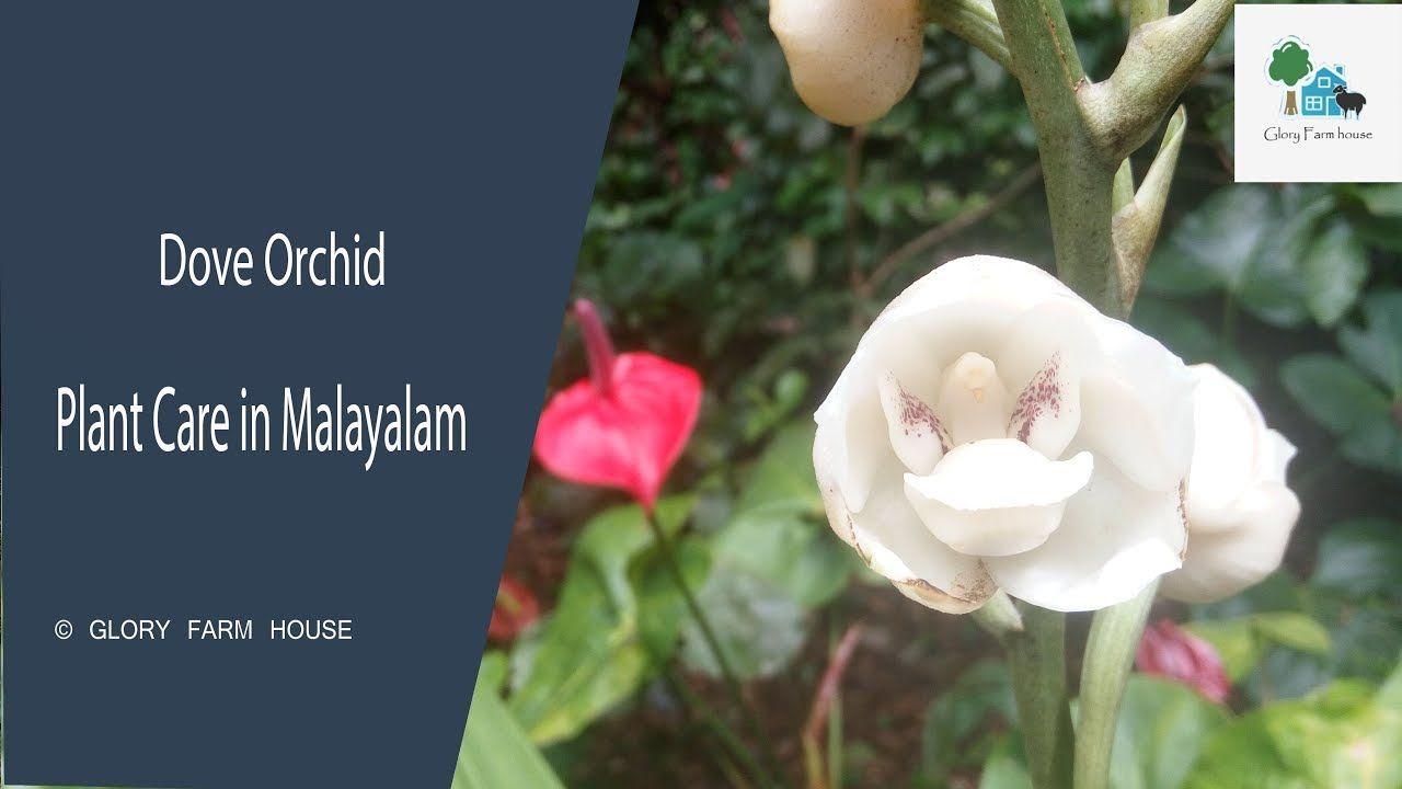 Dove Orchid Care In Malayalam Peristeria Orchid Holy Spirit Orchid Orchid Plant Care Orchids Orchid Care