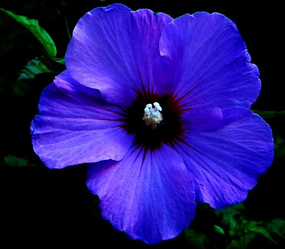 Blue Rose Of Sharon Beautiful Flowers Bloom Where You