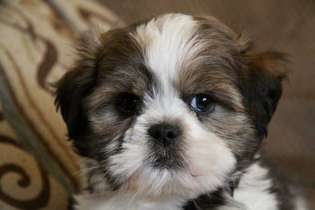 Shih Tzu Rescue Adoption Shih Tzu Puppies For Sale For Sale