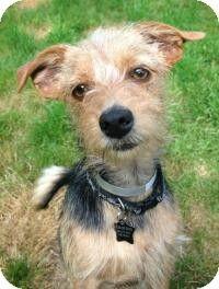 Seattle Wa Welsh Terrier Yorkie Yorkshire Terrier Mix Meet Tallie A Dog For Adoption Http Www Adoptapet Com Yorkshire Terrier Welsh Terrier Terrier