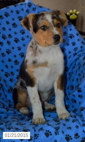 Australian Shepherd Mix Puppy For Sale In Ohio Http Www Buckeyepuppies Com Puppy Australian Shepherd Mix Puppies Australian Shepherd Australian Shepherd Mix