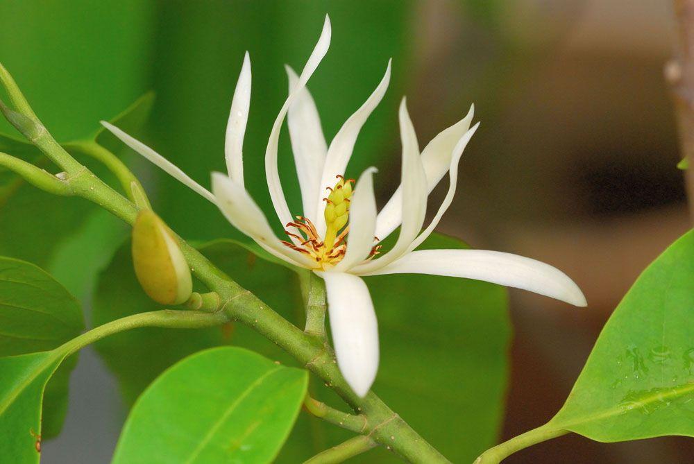 Cempaka ' Michelia spp | Segalanya Tentang Tumbuhan...