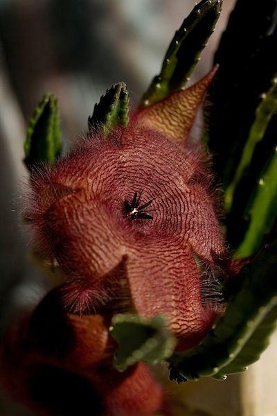 Stapelia gigantea flower