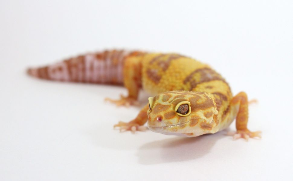 Rainwater Albino Hd Wallpaper Leopard Gecko Gecko Most Beautiful Butterfly