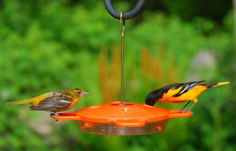 Wild Birds Unlimited What Birds Drink Nectar Wild Birds Unlimited What Is A Bird Nectar Feeders