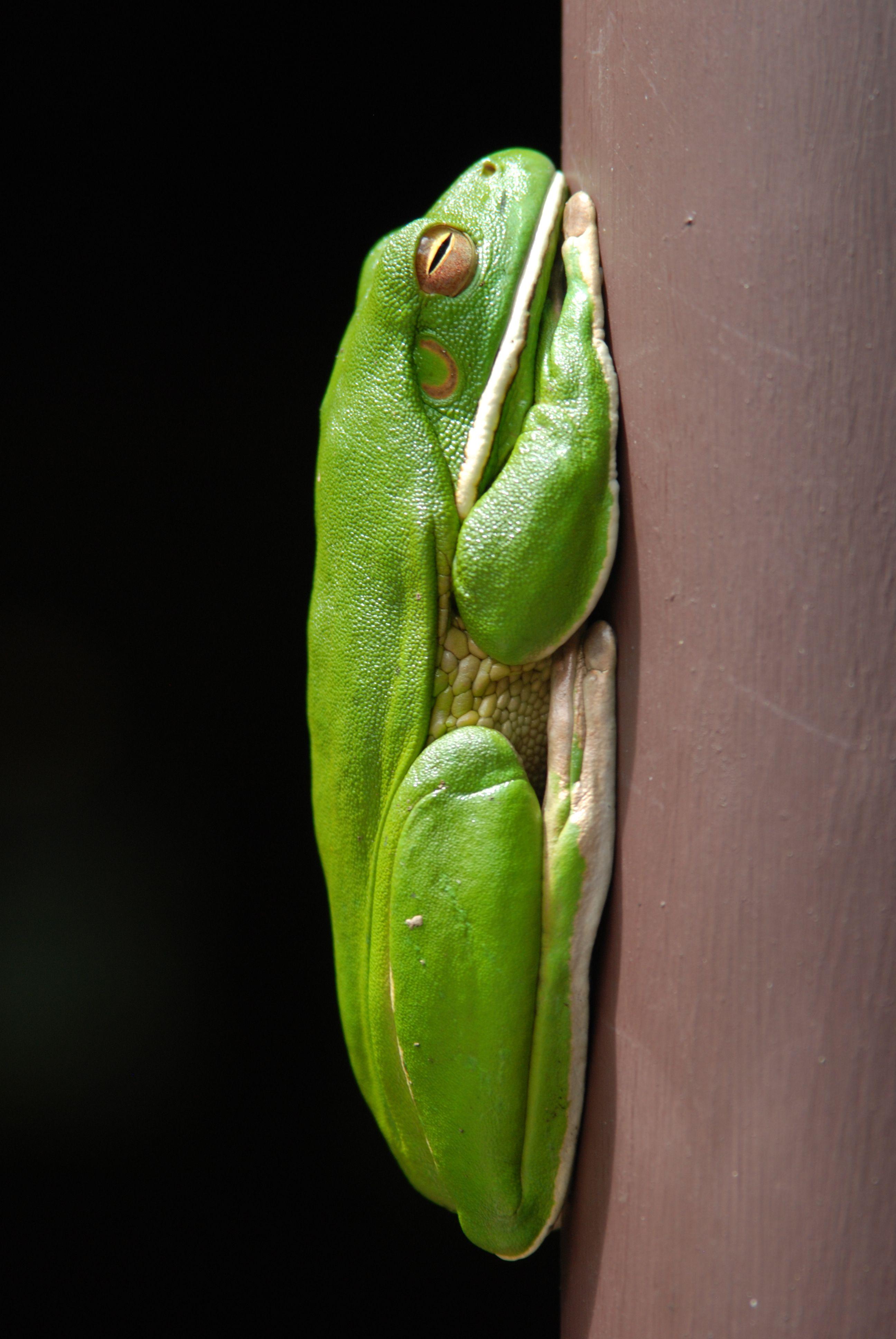 Tree frog, Daintree Rainforest, Queensland, Australia