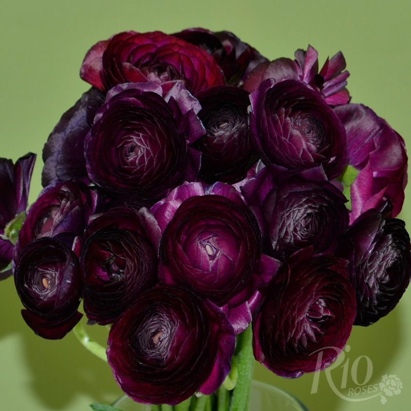 Rio roses purple ranunculus these are real w e d i