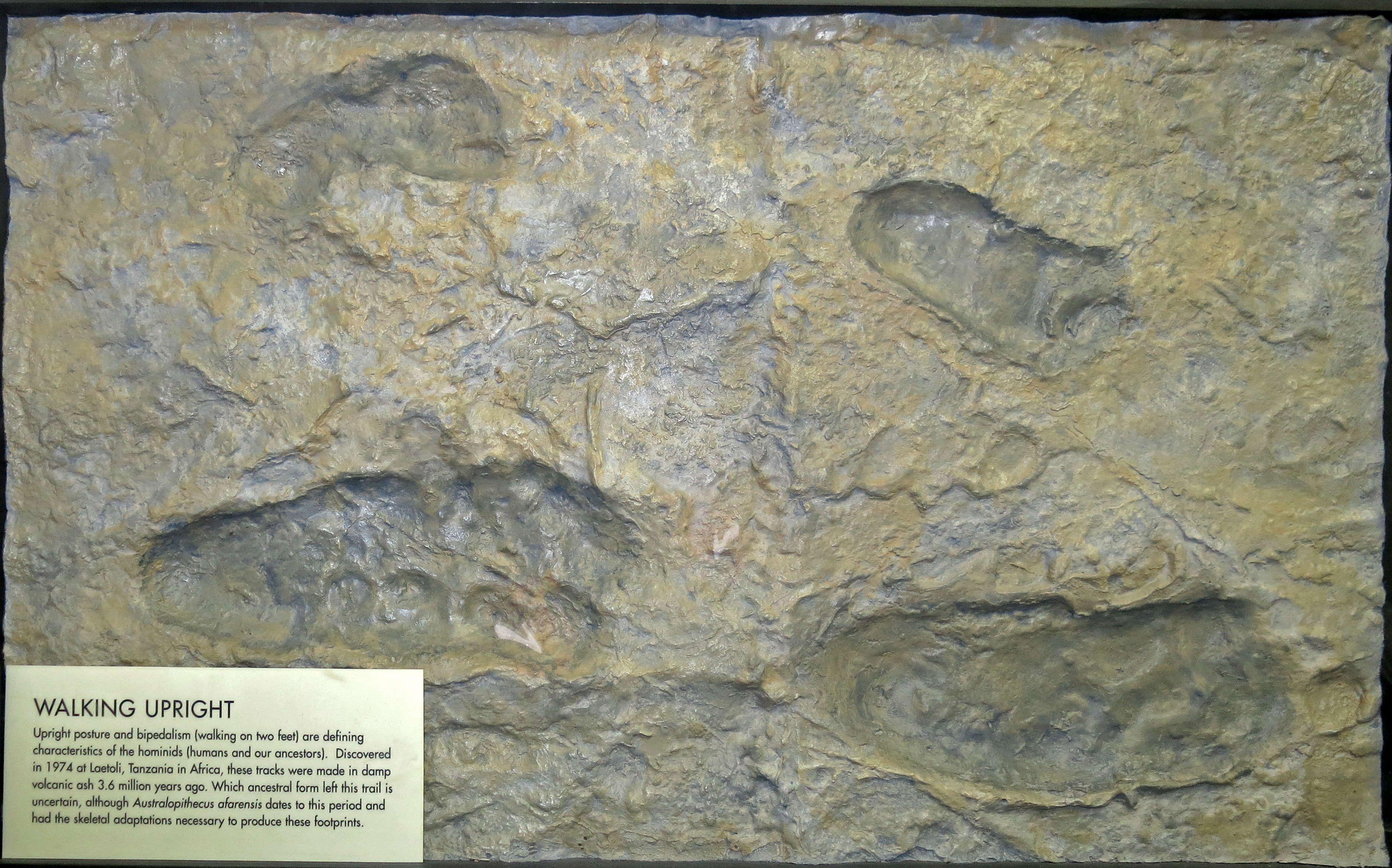 laetoli footprints dating method