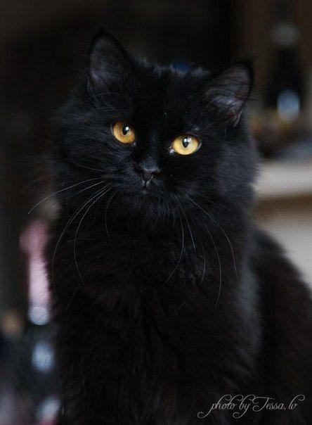 Blackpuss, čierna