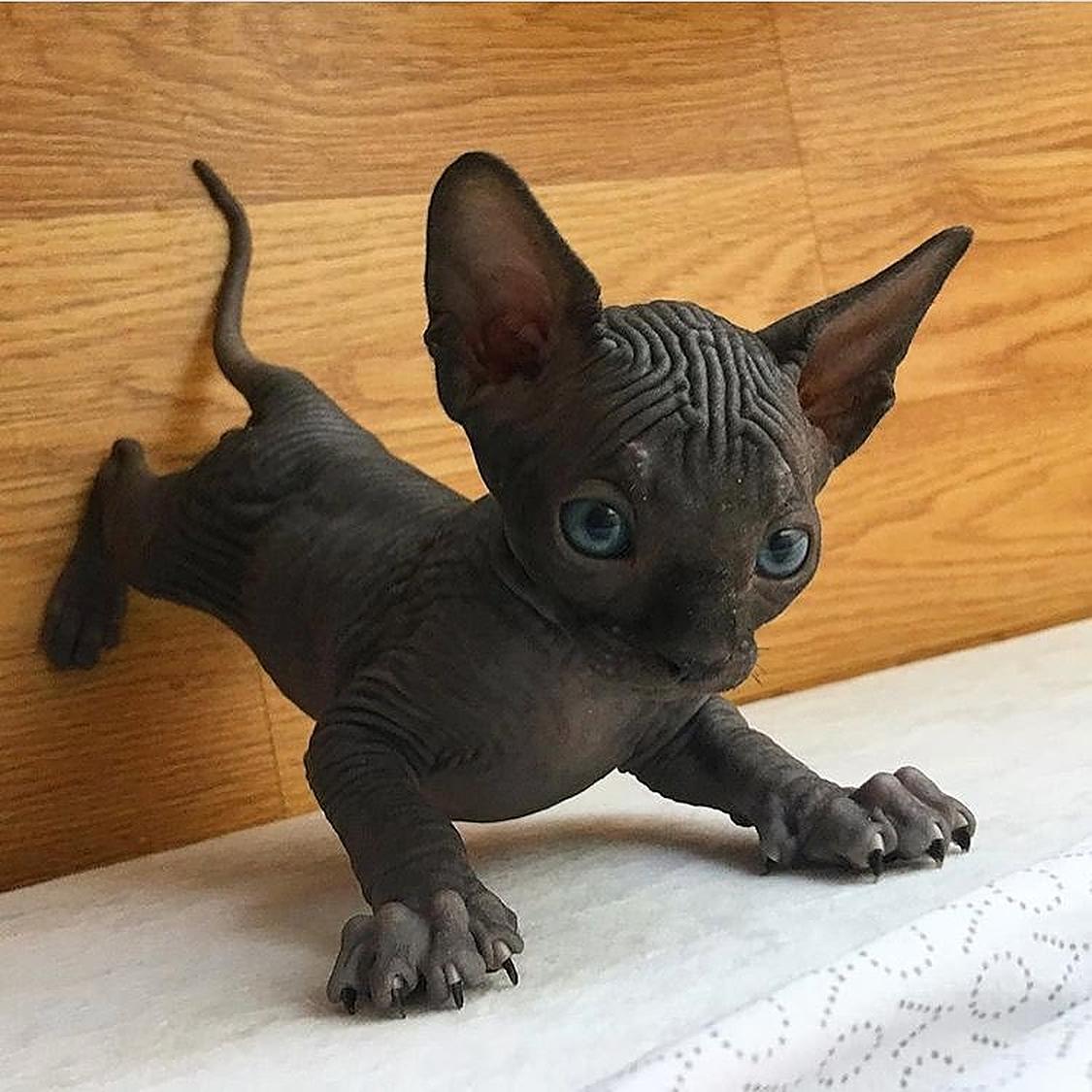 A Little Sphynx Kitten Cute Hairless Cat Hairless Kitten Cute Animals