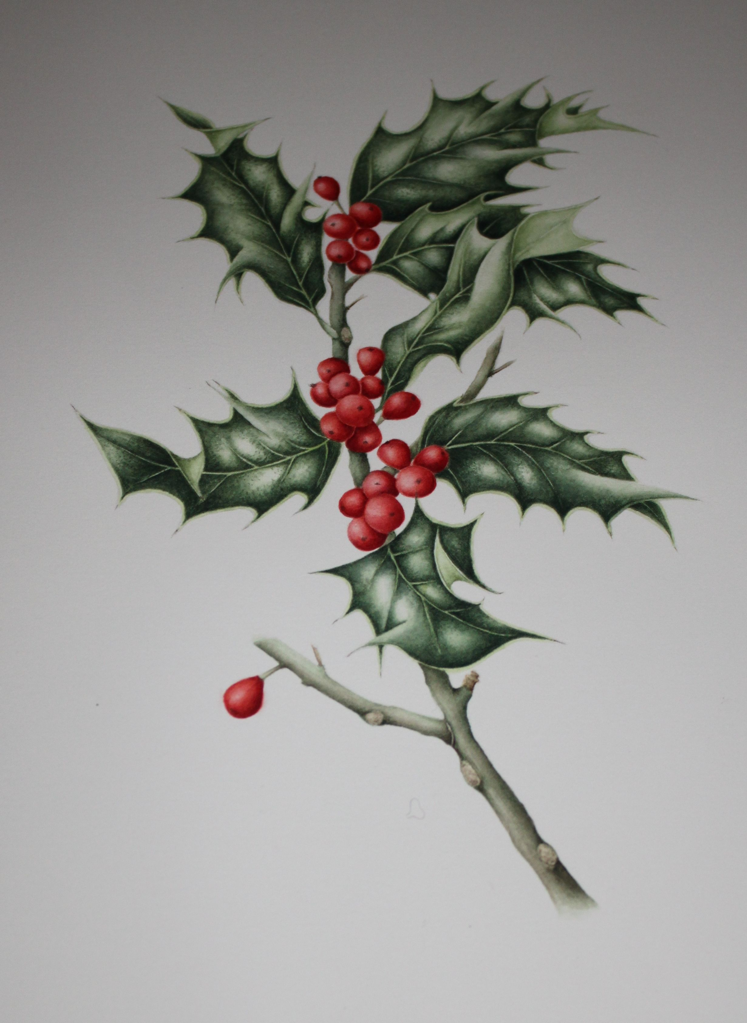Watercolour Holly And Berries Painted Leaves Botanical Drawings