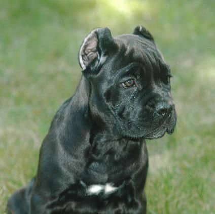 Cane Corso Puppies Velli Cane Corso New Jersey Nj And