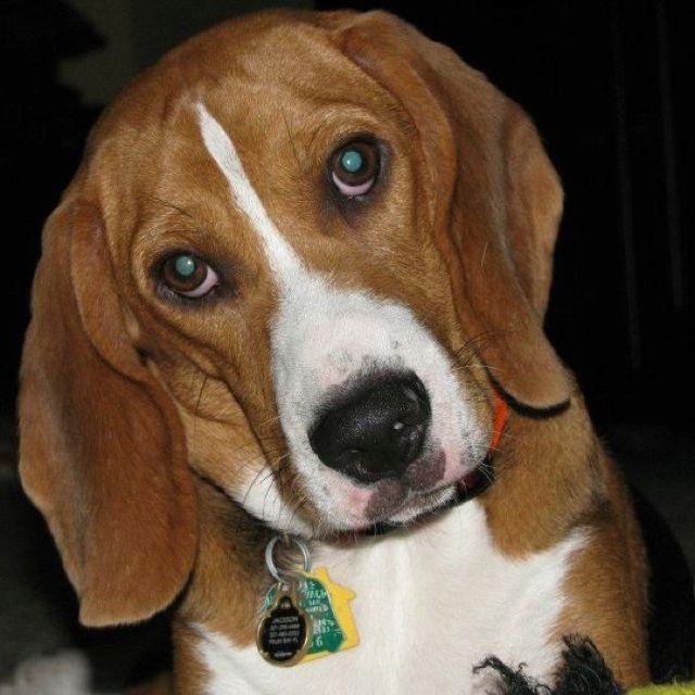 Jackson He S A Bagel Hound Beagle Bassett Hybrid We Love Him