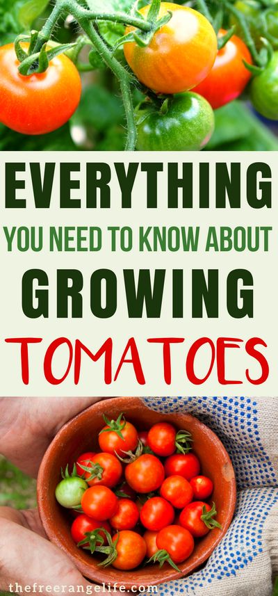Photo of Everything You Need to Know About Growing Tomatoes