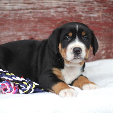 Greater Swiss Mountain Dog puppy for sale in GAP, PA. ADN ...