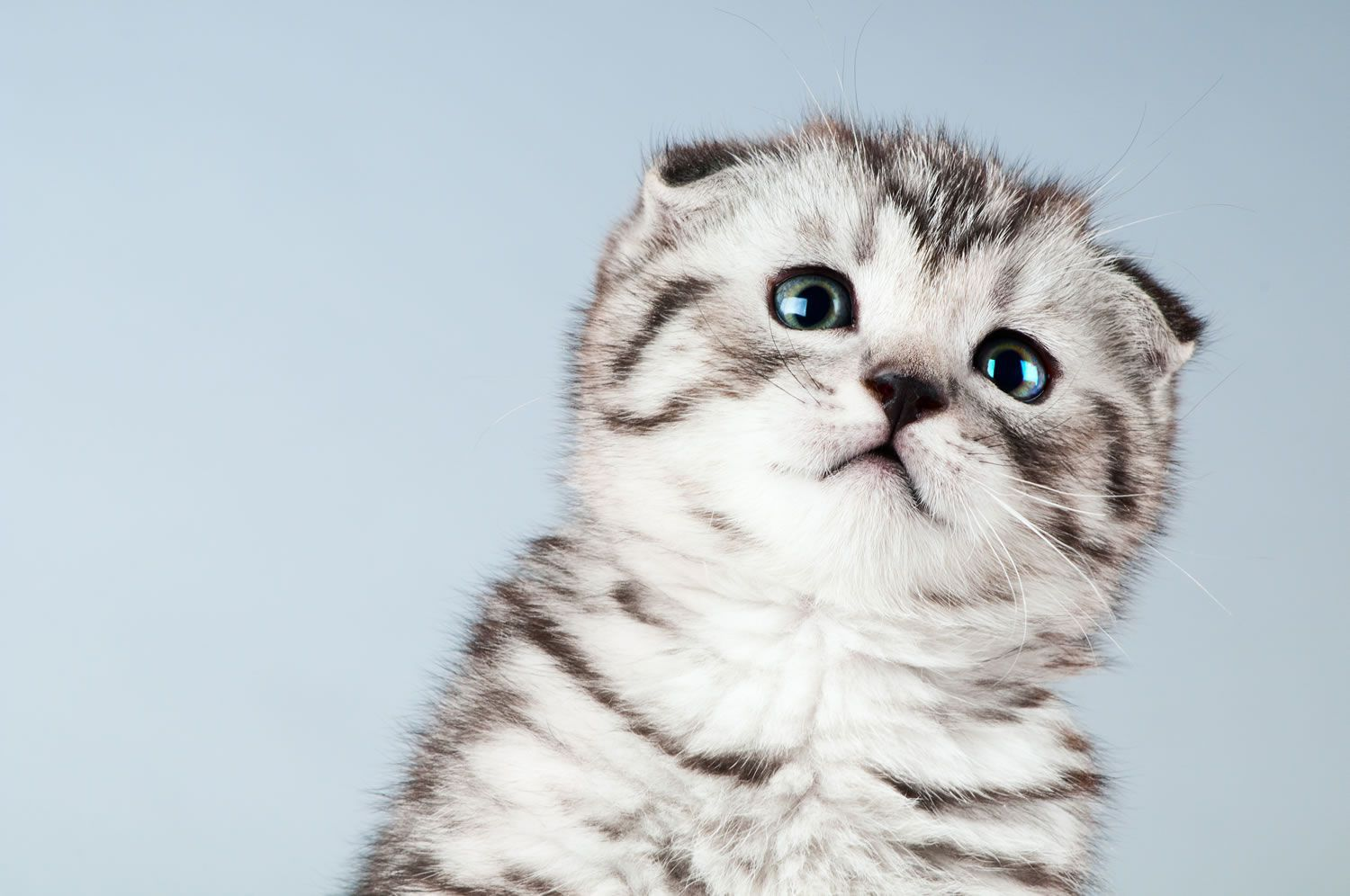 Pin By Deep Blue On Awwh Animals Dd Scottish Fold Kittens Scottish Fold Best Cat Litter