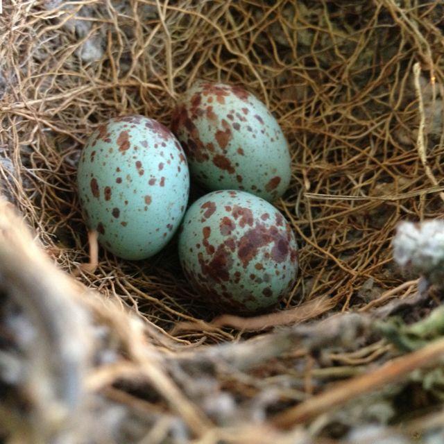 Mockingbird Eggs The Mockingbird Is The State Bird Of Texas