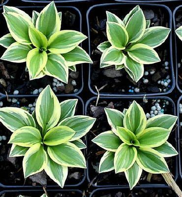 New Hosta 'Woodland Elf' one of the better growing minis very good plant.