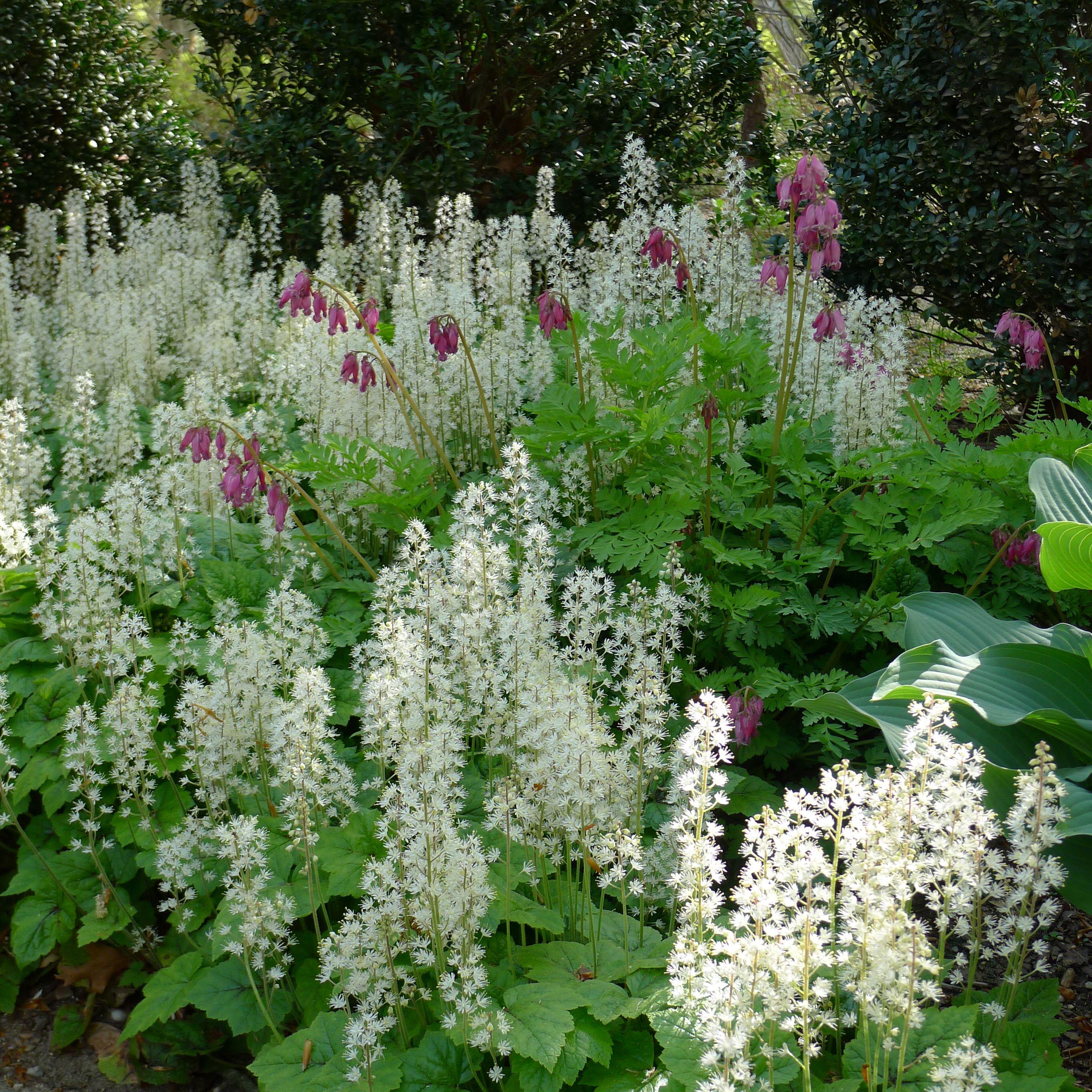 Tiarella cordifolia a way to garden - Tiarella Cordifolia Brandywine