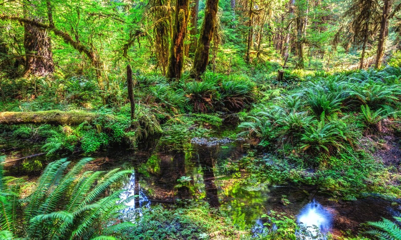 Forest 4k Quality Iphone Wallpaper: Download Nature Olympic National Park Forest Trees Water
