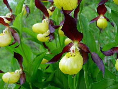 Rare flowers in the world flower yellow and purple lady rare flowers in the world flower yellow and purple lady slippers 7 rarest flower in the world mightylinksfo