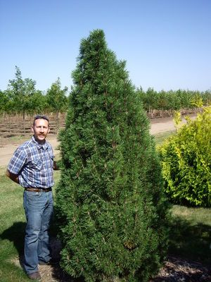 Pflanzen Arnold pinus nigra arnold sentinel grows to 7 wide a possibility