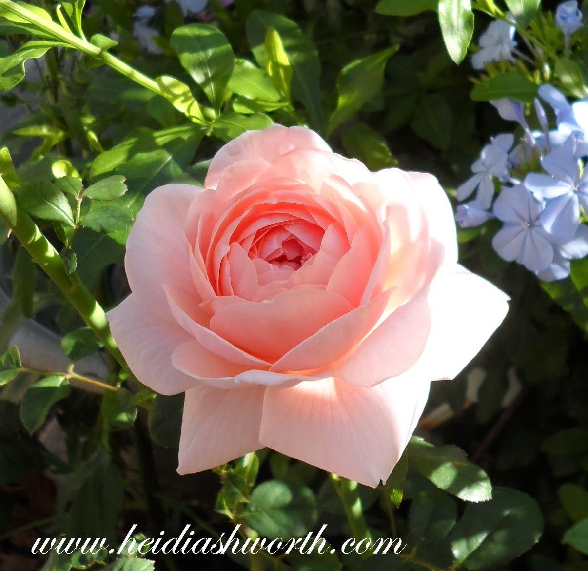 Queen Of Sweden David Austin Rose Queen Of Sweden Rose Pretty Flowers David Austin Roses