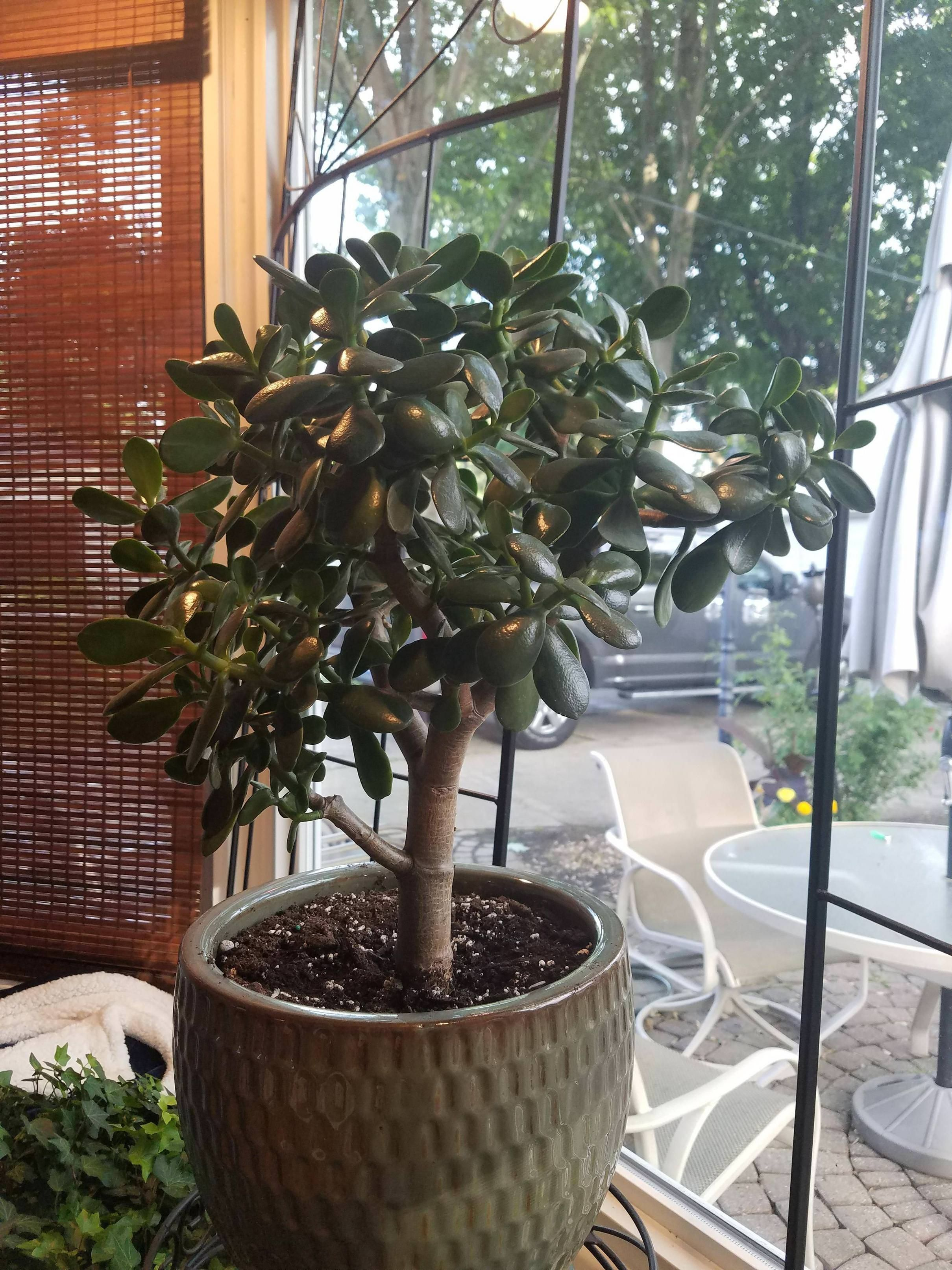 Will Pruning My Jade Plant Help Keep It Leaf Dense And Thicken It S Trunk Gardening Garden Diy Home Flowers Roses Nature Plants Plant Help Jade Plants