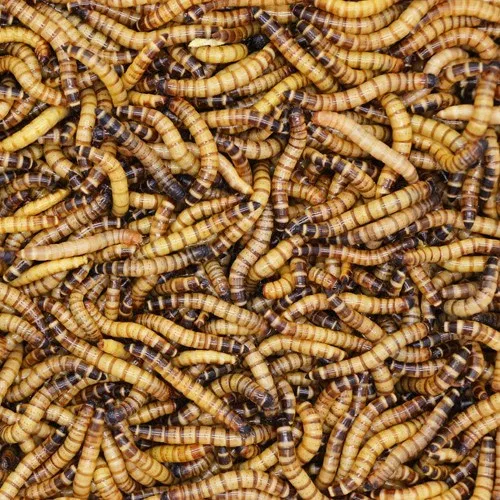 King Mealworms Bassetts Cricket Ranch Inc In 2020 Reptile Supplies Edible Insects Reptiles